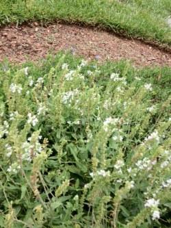 White Salvia Perenial - Deer Resistant