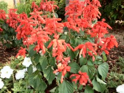 Red Hot Salvia Annual