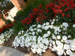 Red & White Petunias Annual