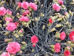 Dianthus Pink Perenial