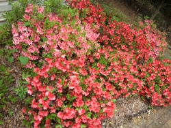 Coral & Sunset Azalea's Perenial blooms twice a year