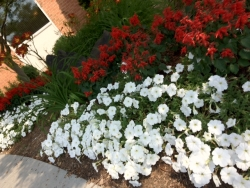 Red & White Petunias Annual