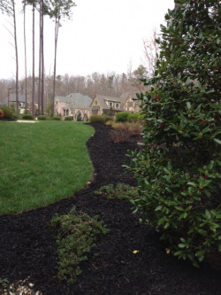 Black Designer Mulch with Nellie Stevens Holly