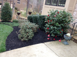 Black Designer Mulch with Azaleas, Camellias and Boxwood Shrubs