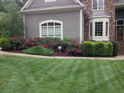 Thriving Turf Tall Fescue in June